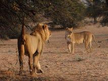 Male lion med en lioness som markerar dess territorium Arkivbilder