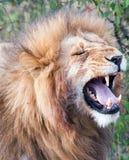 Male lion with mouth open during flehmen response. Single male lion Panthera leo showing flehmen response in Maasai Mara National Park, Kenya Stock Image