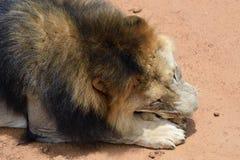 Male lion, Namibia Royalty Free Stock Photo