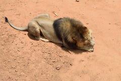 Male lion, Namibia Royalty Free Stock Image