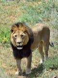 Male lion, Namibia Royalty Free Stock Photos