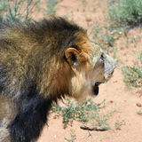 Male lion, Namibia Stock Photography