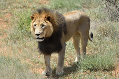 Male lion, Namibia Royalty Free Stock Photography