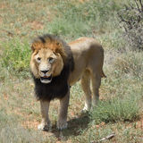 Male lion, Namibia Stock Images