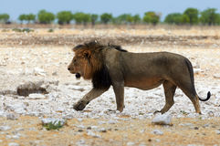 Male Lion in Namibia Stock Photos