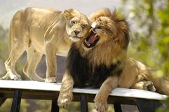 Male lion with female lioness. This Male lion is not in the mood while female lioness tries very hard to show him some affection only to get a roar and a growl stock photos