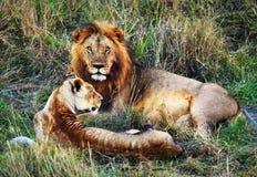 Male lion och kvinnlig lion. Safari i Serengeti, Tanzania, Afrika Arkivfoto