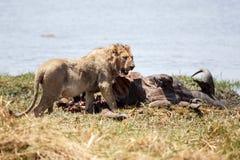 Male Lion - Okavango Delta - Moremi N.P. Royalty Free Stock Image