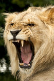 Male Lion with open mouth roaring showing teeth Stock Photography