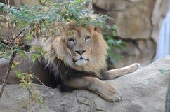 Male lion på rock Arkivfoto