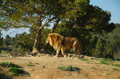 Male lion (Panthera leo). A male lion in a safari park royalty free stock photography