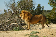 Male lion (Panthera leo). A male lion in a safari park stock photography