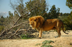 Male lion (Panthera leo). A male lion in a safari park royalty free stock photo