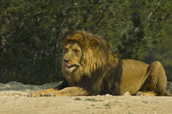 Male lion (Panthera leo) stock images