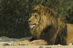 Male lion (Panthera leo). A male lion in a safari park stock photos
