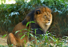 Male Lion (Panthera leo) Royalty Free Stock Photography
