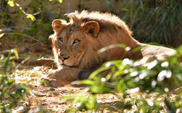 Male Lion (Panthera leo) Stock Photo