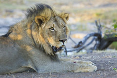 Male Lion (Panthera leo) Botswana. A male African Lion resting in the shade in Botswana Royalty Free Stock Photography