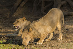 Male Lion (Panthera leo) drinking. Lioness in the background Stock Images