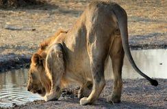 Male lion (Panthera leo), Etosha, Namibia Stock Image