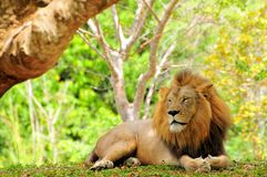 Male lion (Panthera leo) eyes closed Royalty Free Stock Image