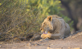 Male Lion (Panthera leo) grooming. Young Male Lion (Panthera leo) grooming, licking paw Stock Image