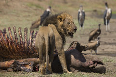Male Lion (Panthera leo) on Hippopotamus carcass. (Hippopotamus amphibius), vultures and Marabou Storks in the background Stock Images