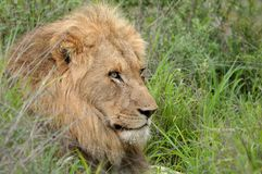 Male lion (Panthera leo) Stock Photos