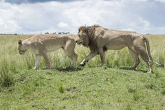 Lion couple in courtship. Male lion Panthera leo and lioness during courtship, Masai Mara, Kenya royalty free stock photos