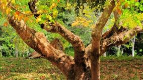 Male lion (Panthera leo) lying down behind tree Stock Image
