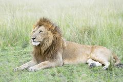 Male lion Panthera leo lying down in savannah Stock Photos