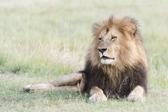 Male lion Panthera leo lying down in savannah Stock Photo