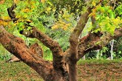 Male lion (Panthera leo) resting behind tree Stock Photo