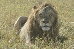 A Male  Lion  Panthera Leo Simba in Swahili Language. This photo of Male Lion was staken in heart of the African Savanna,the Masai Mara Kenya.Lions are Stock Photography