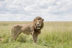 Male lion on savannah Stock Photo