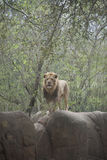 Lion. Male lion Panthera leo watching from a rock Royalty Free Stock Image