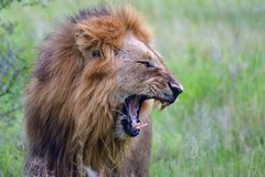Male lion (Panthera leo) yawning Royalty Free Stock Photo
