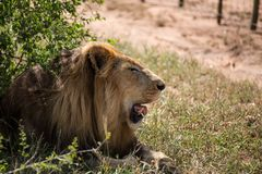 Male Lion Panting stock photography