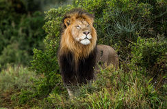 Male lion peering out the bush Stock Photography
