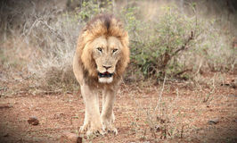 Male Lion Royalty Free Stock Photography