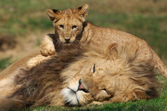Male Lion playing with cub stock photo