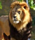 Male lion portrait Royalty Free Stock Photos