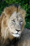 Male Lion Portrait Stock Image
