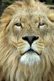 Male Lion Portrait. Portrait of a male Lion head on royalty free stock photo