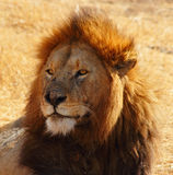 Male Lion Portrait. Stoic head shot of a male lion Stock Photography