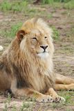 Male Lion Portrait Royalty Free Stock Images