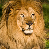 Male Lion Portrait. Male lion at the Zoo Royalty Free Stock Photography