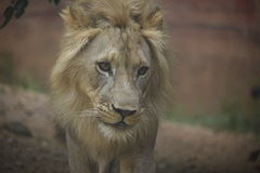 Male Lion portrait. A portrait of  a male adult lion, looking down. His mane is soft and fluffy. His mouth is closed and his eyes are down cast Stock Photo
