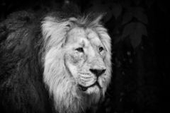 Male lion portrait black and white. Close-up royalty free stock images