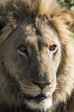 Male lion portrait Royalty Free Stock Photos